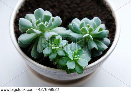 Echeveria. Home Plants. Succulent In A White Flower Pot On The Windowsill.