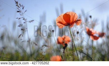 Papaver. Red Poppy, Delicate Flower. Red Poppies Are Blooming In The Field. Field Of Bright Red Corn
