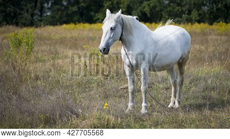 Beautiful White Horse On Dry Grass In The Field. Arabian Horse, White Horse Stands In An Agriculture
