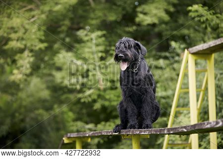 Portrait Of Dog During Obedience Training. Giant Schnauzer On Obstacle Course.