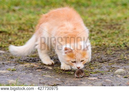 Frightened Mole And Red Cat, A Cat Playing With Its Prey On The Grass, A Natural Instinct Of A Cat.