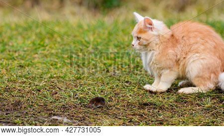 A Fluffy Pet Plays With Its Prey, A Mole As Food For A Cat, A Rodent And A Cat.