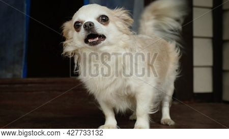 Longhaired Purebred Chihuahua Dog. Domestic Pet. Cute Small Doggy. Portrait Of Funny Lap Dog.