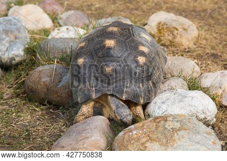 A Radiant Turtle (lat. Astrochelys Radiata) With A Beautiful Shell Pattern On Rounded Cobblestones O