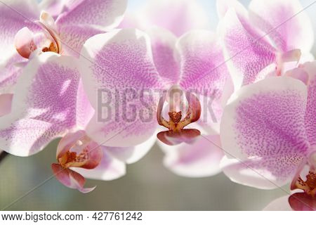 Violet Orchid Flowers Of Phalaenopsis Orchidaceae Moth Orchids Closeup, Orchid Macro