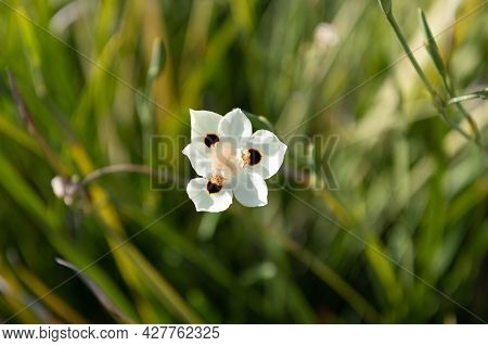 Beauty Is Bloom. White Bloom. Blooming Flower In Blurred Grass. Flowering Plant. Flora And Botany