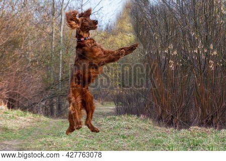 Beautiful Hunting Young Dog Irish Setter Jumping