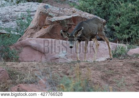A Female Deer Or Doe Is Walking On A Trail Next To Sandstone Boulders In The Late Afternoon At Zion
