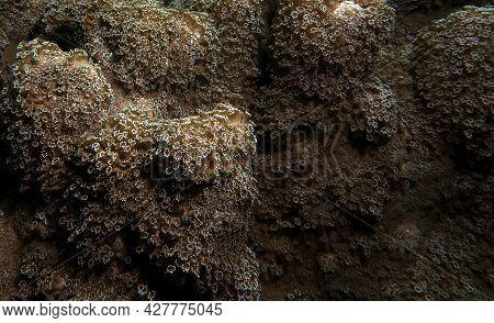 A Goniopora Sp Soft Coral Cebu Philippines