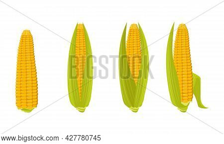 Set Of Corn Cobs With Leaves And Grains. Summer And Autumn Harvest, Delicious Food. Vitamin Source