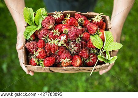 Harvesting Strawberries. Close-up Of Full Basket Of Ripe Strawberries In Hands Of Senior  Farmer.str