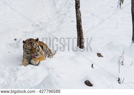 The Amur Tiger Lies In The Snow In The Forest And Licks Its Paw.