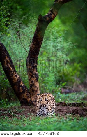 Wild Leopard Or Panther With Eye Contact In Natural Monsoon Green Background At Jhalana Forest Or Le