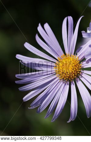 Symphyotrichum Novae-angliae Is A Species Of Flowering Plant In The Daisy Family (asteraceae) Common
