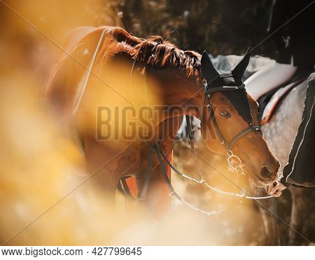A Beautiful Bay Horse With A Saddle On Its Back, Walking Among The Yellow Autumn Leaves On A Sunny D