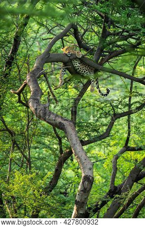 Wild Female Leopard Or Panther On Tree Trunk With Eye Contact In Natural Monsoon Green Background At