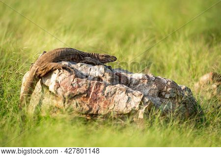 Monitor Lizard Or Bengal Monitor Or Common Indian Monitor Or Varanus Bengalensis Portrait On Rock In