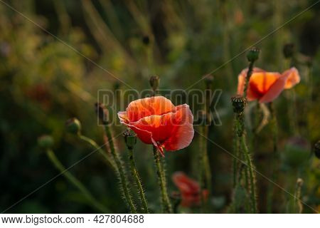 Field Of Orange Petals Of Opium Poppy Flower Blooming On Blurry Green Leaves Under Sunlight Evening