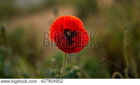 Red Petals Of Opium Poppy Flower Blooming On Blurry Green Leaves Under Sunlight Evening