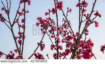Bunches Of Pink Petals Of Prunus Cerasoides Flower Blooming On The Tree Under White Sky, Know As Wil