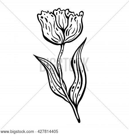 Flower Tulip. Hand Drawn Vector Illustration. Monochrome Black And White Ink Sketch. Line Art. Isola