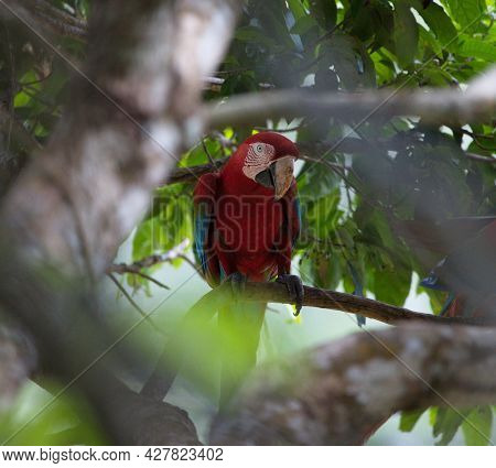 Closeup Portrait Of Colorful Scarlet Macaw (ara Macao) Camouflaged Between Branches In Wild Tree, Pa