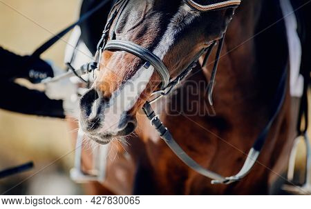 The Nose Of A Bay Horse With A White Groove On The Muzzle. Portrait Sports Stallion In The Bridle. H