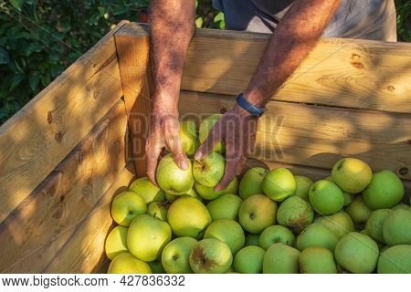 Ripe Farmer's Hands Leaving Green Apples In A Big Box During Harvest. Farmers Hands With Freshly Har