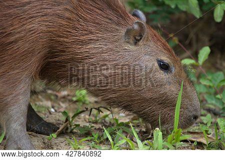 Closeup Side On Portrait Of Capybara (hydrochoerus Hydrochaeris) Feeding On Side Of Riverbank Pampas
