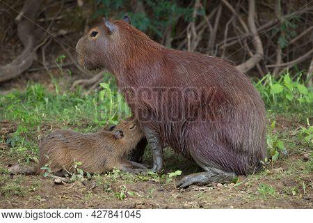 Closeup Portrait Of Mother And Baby Capybara (hydrochoerus Hydrochaeris) Feeding On Riverbank Pampas