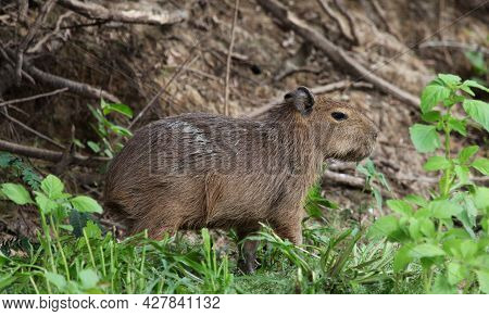 Closeup Side On Portrait Of Baby Capybara (hydrochoerus Hydrochaeris) Sitting On Riverbank Pampas De