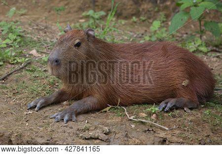 Closeup Side On Portrait Of Capybara (hydrochoerus Hydrochaeris) Laying Down On Riverbank Pampas Del