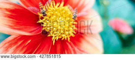 Aster Flowers in summer garten