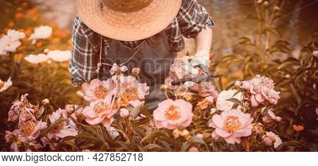 A Gardener Girl In A Straw Hat And Gloves Looks After Bushes Of Lush Pink Peonies, A Woman Is Engage