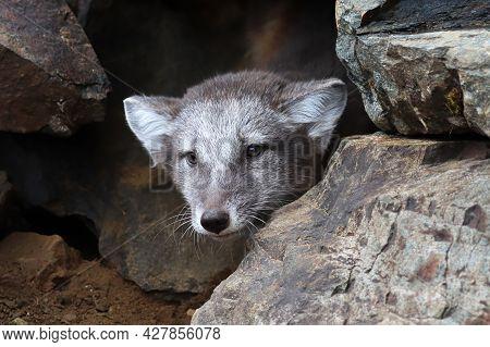A Artic Fox Cub Peaks Out A Rocky Den