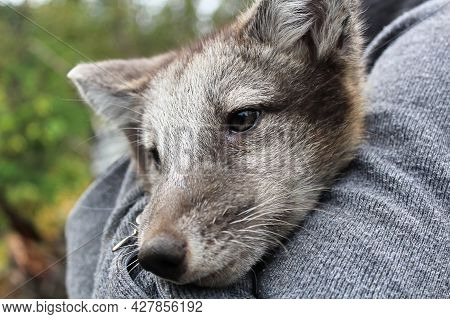 Closeup Of An Artic Fox Being Held By A Human