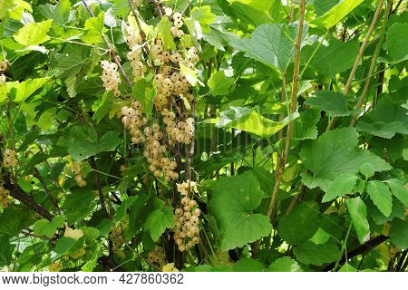 A Bush Of Yellow Currant With Brushes Of Juicy Ripe Berries On The Infield.