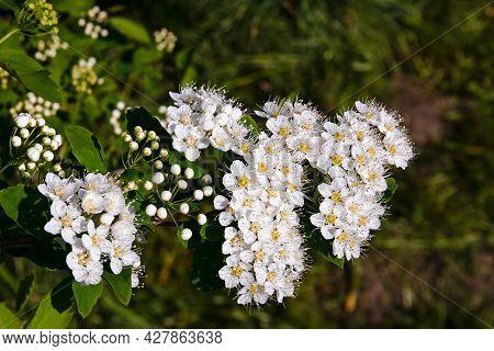 Blooms Spirea Bush-lat. Spiraea Is A Genus Of Deciduous Ornamental Shrubs In The Rosaceae Family, In