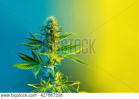 Cannabis Flowering Plant In Lemon Yellow And Blue Colors. Beautiful Background With Colored Marijuan