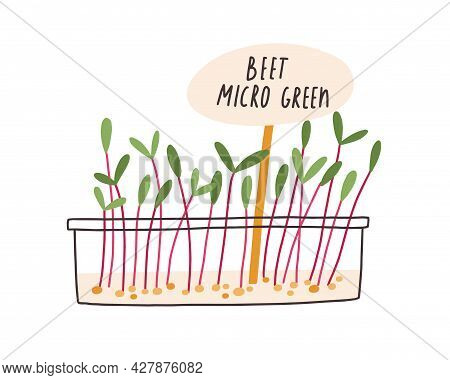 Fresh Microgreens Growing In Container. Beet Micro Greens In Pot With Plant Label. Green Sprouts And