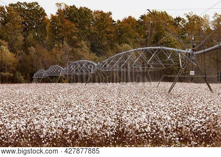 Automatic Pivot Irrigation Mechanism Between Rows Of Ripe Cotton On Agicultural Field In Rural Farml