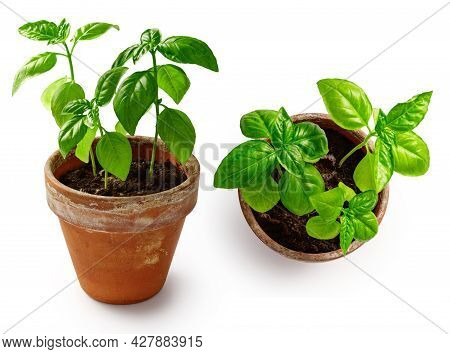Fresh Basil Herb In Terracotta Flower Pot Isolated On White Background. Basil In Vintage Pot. Set Of