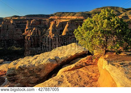 Pinyon Pine At Grand View Overlook In Colorado National Monument, Grand Junction, Usa