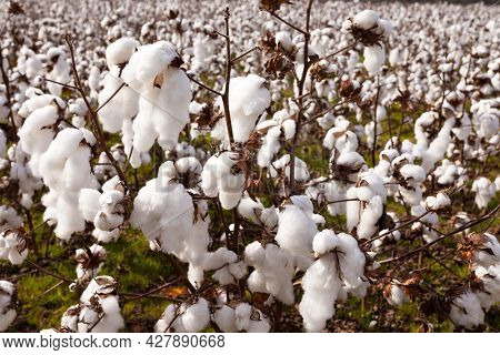 Ready To Harvest Crop Of Ripe Cotton Plants Close-up Growing On Agricultural Farmland
