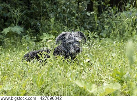 Mixed Breed Gray Bearded Fluffy Senior Dog Lying And Resting On Green Grass, Adoption And Pet Love T