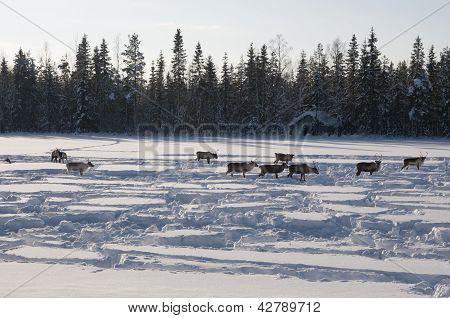 rådjur i Svenska Lappland