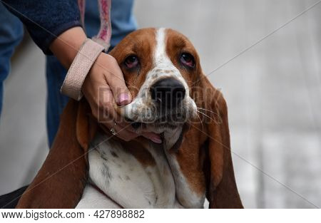 Hand Patting The Cheek Encouraging A Dog With Large Hanging Ears Of The Basset Hound Breed On The St