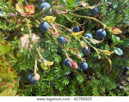 blåbär i skogen