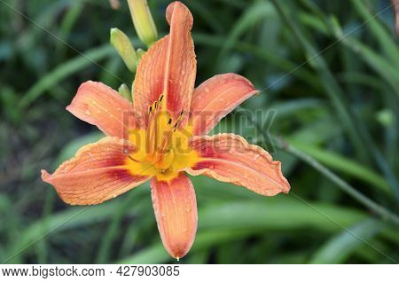 Orange Lily Flower In The Garden Close Up.dwarf Matrix Asiatic Lilium.selective Focus.