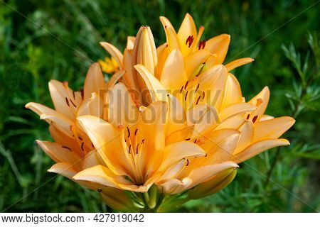Lily Flowers. Close-up Of Large Orange-pink Lily Flowers. Daylily In The Garden. Garden Summer Flowe